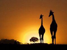 Silhouette of Giraffes