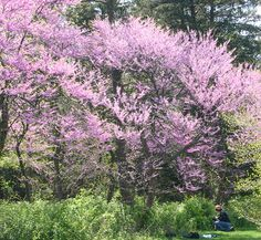 1000 images about ornamental trees on pinterest small for Small ornamental trees for landscaping