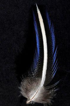 Pintade vulturine bord bleu - 8-10 cm - trait blanc naturel - Plumes.fr