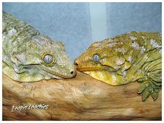 Nuu Ana Leachies Reptile Room, Reptile Cage, Reptile Enclosure, Leachie Gecko, Crested Gecko, Guinea Pig Toys, Guinea Pig Care, Chameleon Lizard, Amphibians