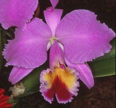 "http://www.orquidariovirtual.com/orchids/cattleya/page/61/ A foto que inicia o post é a C. labiata tipo ""Estrela de Pernambuco"" Este post é ..."