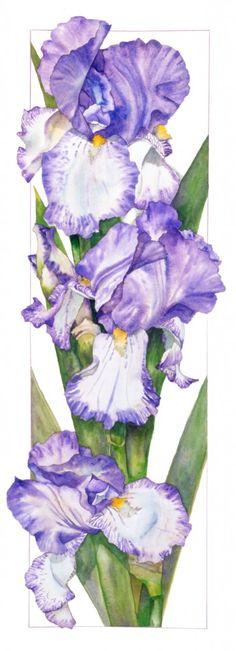 Irises are one of my favorites. Bearded Iris, Lilac | Sally Robertson Gallery. w/c