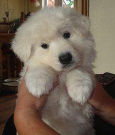 #puppy #white