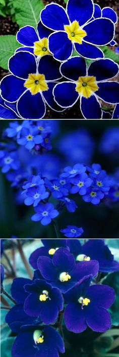 US$4.69 100Pcs Blue Evening Primrose Seeds Click to see details at Newchic.com