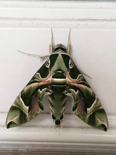 Beautiful Bugs, Beautiful Butterflies, Pretty Animals, Cute Animals, Cool Bugs, Insect Tattoo, Bugs And Insects, Nature Animals, Beautiful Creatures