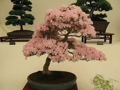 Alpin Funny Picture!!: DELIGHTFUL FLOWERING BONSAI TREES