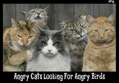 Angry Cats not getting attention because master playing Angry Birds game.