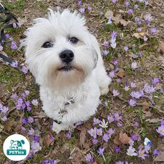 Are you ready for the spring?😊@roko.havanese #PETica  *  *  *  *  *  #petstagram #dogstagram #dogsofinstagram #bichon #havanese #bichonhavanese #cute #puppy #croatia #croatiafullofdogs #dogsofzagreb #crostagram #havaneseoftheworld #dogscorner #puppytales #mydogiscutest #worldofcutepets #cutepetclub #zagrebpets #spring #crocus #field #zoopluspet