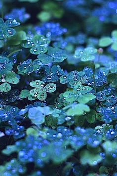 "The blue-green clover in this photo is absolutely beautiful. If there were a clover this color, I'd want it everywhere. But, I'm not convinced that the color is entirely natural or if it has been ""enhanced. Dew Drops, Jolie Photo, Shades Of Green, 50 Shades, My Favorite Color, Favorite Things, Beautiful World, Beautiful Dream, Beautiful Things"