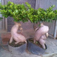 Ginsend Ficus Seeds Air Purification Bonsai Flower Plant Ficus Ginseng 50 PCS S Ficus Ginseng Bonsai, Ficus Bonsai Tree, Bonsai Seeds, Tree Seeds, Edible Succulents, Planting Succulents, Garden Plants, Planting Flowers