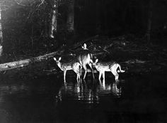 White-tailed doe with her fawns - Provided by Mental Floss