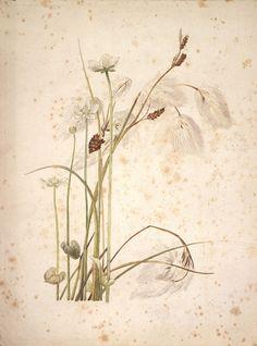 Beatrix Potter - Botanical illustrations, c. 1900