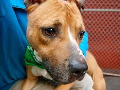 TO BE DESTROYED - 04/19/14  Manhattan Center    My name is WILLY. My Animal ID # is A0996597.  I am a male tan and white pit bull mix. The shelter thinks I am about 4 YEARS old.   I came in the shelter as a STRAY on 04/13/2014 from NY 10456, owner surrender reason stated was STRAY  https://www.facebook.com/photo.php?fbid=789019227777625&set=a.617938651552351.1073741868.152876678058553&type=3&permPage=1