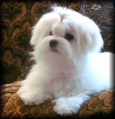 Maltese Dog Flags | Visit rhapsodymaltese.com