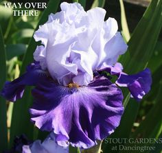 IRIS WAY OVER THERE – Stout Gardens at Dancingtree