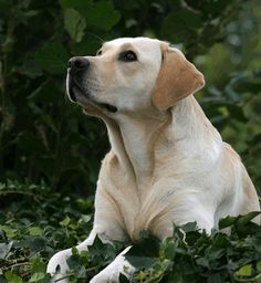 Labradors are the Quarter Horses of the dog world, but they're the best in my opinion.