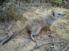 Crest tailed Mulgara