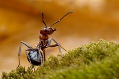This ant is not an animal...it's an insect :)