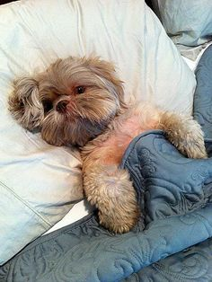 Shih Tzu in bed ... can I climb in there with you???