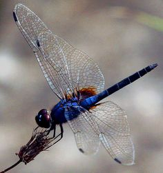 """...the lure of dragonflies was too strong today..."" // robferblue"