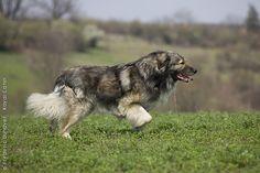 CARPATIAN SHEPHERD DOG/CARPATIAN SHEEPDOG