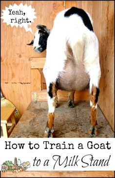 How to Train a Goat to be Milked on a Milk Stand - Homestead Lady - Tips and advice on the realities of training a milk goat to a milk stand. Keeping Goats, Raising Goats, Goat Care, Nigerian Dwarf Goats, Goat Meat, Goat Farming, Backyard Farming, Baby Goats, Hobby Farms