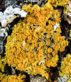 Things I've Seen  November 20, 2013 by New Hampshire Garden Solutions  1. Poplar Sunburst Lichen