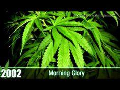 Cannabis Cup Winners - Best Marijuana Strains