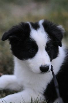 The Border Collie Beagle mix (also known as the Border Beagle) is not a purebred dog. It is a cross between the Beagle and the Border Collie. Perros Border Collie, Border Collie Welpen, Border Collie Puppies, Border Collies, Border Collie Training, Chihuahua Dogs, Pet Dogs, Dogs And Puppies, Teacup Chihuahua