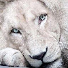Картинки по запросу White Lion
