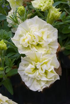Petunia (Tumbelina) Susanna double yellow flowers