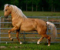 Lusitano  Stallion For Sale in Florida