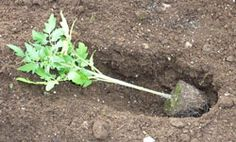 How to plant tomatoes for best results. My neighbor did this last year and her tomatoes were terrific.