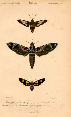 1861 moth illustration