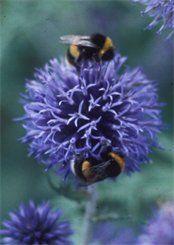 Bumbles visiting the globe thistle, Echinops ritro Botanical Gardens, Butterflies, Globe, Recipies, Gardening, Bird, Flowers, Plants, Gardens