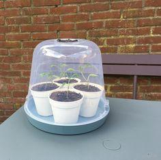 Leuke combi: elho loft schotel met een green basics kweekkap! #myelho #elho #kweken #paprika #moestuin #allotment #volkstuin #kas #zaad #zaden #zaaien #voorzaaien #seeds #sowing #seedlings #kitchengarden #eigenkweek #homegrown #biologisch #organic #tuinieren #tuin #garden #gardening #gardener #puur #eten #oogst