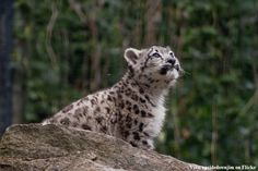 Very majestic shot of a snow leopard cub, looking into the distance...