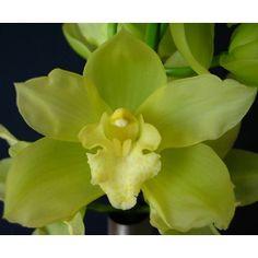 Light Green Cymbidium Orchids