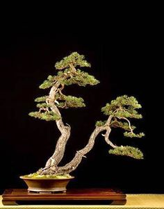 Such a dramatic appearance of this Juniper forest. Who knows the owner of this tree? #bonsai