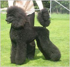 17 Best images about Standard Poodle Clips I like on Pinterest ...