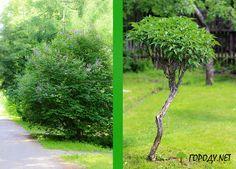 Садовый бонсай из обычных деревьев