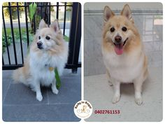 I had the pleasure of seeing adorable Princi today again  He came for his Full Groom session and went away looking very handsome and smelling gorgeous!!! Thank you Kamila and Princi for visiting Ratty to Regal this morning!  See you next time  Ratty to Regal - Professional Dog Grooming Service in Bicton with Lots of Love, Care, Patience and Treats:) Mob.: 04 02 761153 Ula Facebook: https://www.facebook.com/rattytoregal/  Website: https://rattytoregal.wixsite.com/rattytoregal #doggr
