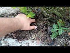 Rozmnażanie BORÓWKI AMERYKAŃSKIEJ najprostszy sposób w amatorskiej uprawie. - YouTube Make It Yourself, Youtube, Plants, Sad, Gardening, Lawn And Garden, Plant, Youtubers, Youtube Movies