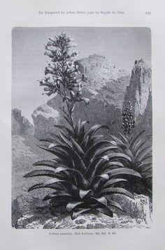 1896 AECHMEA PANICULATA alter Druck antique Print Lithographie Pflanze Pflanzen
