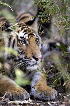 *Tiger in Kanha (by Kevin Osborne)