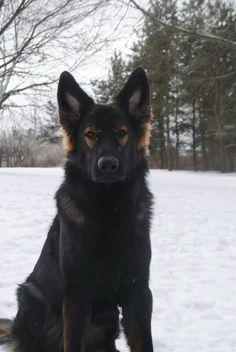 Gorgeous #German #Shepherd