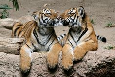 Tiger kiss by Penny Hyde happening at the San Diego Zoo!
