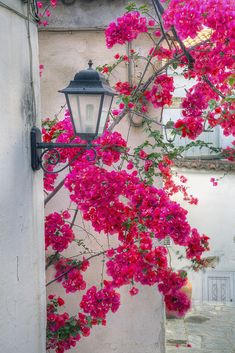 Bougainvillea in Ski