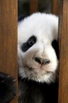 Panda playing 'Peek-a-Boo' through the Fence