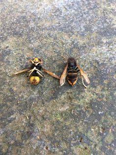 Asian predatory wasp or yellow-legged hornet, Vespa velutina (Hymenoptera: Vespidae)